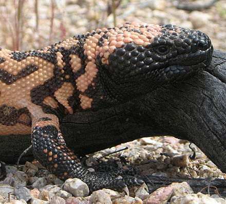 Head with bead-like scales and strong forelegs and claws suitable for digging Gila Monster head.jpg