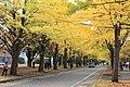 Ginkgo at hokkaido university - panoramio.jpg