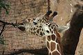 Giraffa camelopardalis at the Philadelphia Zoo 006.jpg