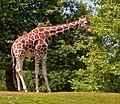 Giraffe (182043419).jpg