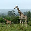 Giraffe (6608142251).jpg