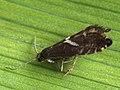 Glyphipterix forsterella (40272515664).jpg
