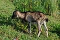 Goat kid, Mohamaya Lake (01).jpg