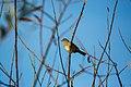 Golden-crowned sparrow (31670552236).jpg