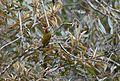 Golden-olive Woodpecker (24857286290).jpg