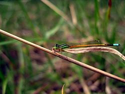 Golden dartlet ischnura aurora male.jpg