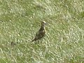 Golden plover on Killhope Law - geograph.org.uk - 1453194.jpg
