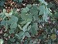 Gossypium tomentosum (5187431515).jpg