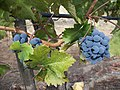 Grapes nearing ripeness.jpg