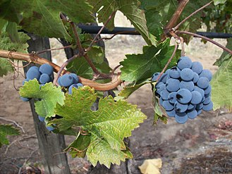 Ripeness in viticulture - Researchers in the wine industry are developing new ways to objectively measure ripeness.