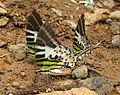 Graphium antiphates - Five-bar Swordtail 18.jpg