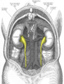 Gray1120-ureters.png