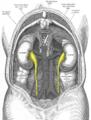 Gray1120-ureters.png