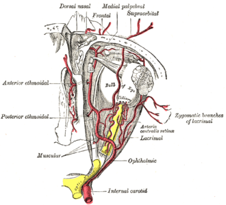 Supraorbital artery - The ophthalmic artery and its branches. (Supraorbital artery labeled at center top.)