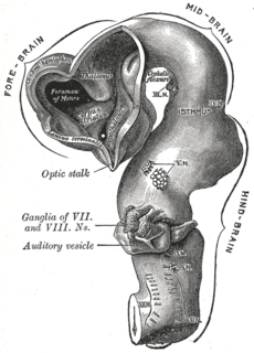 Flexure (embryology) Part of the embryonic neural tube