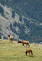 Grazing Elk Rocky Mountain National Park USA.JPG