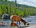 Grazing along Gibbon River, Yellowstone 2011 (24790283926).jpg