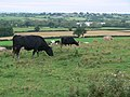 Grazing cattle - geograph.org.uk - 545126.jpg