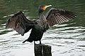 Great Cormorant PT 2.jpg