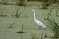 Great Egret 7322.jpg