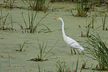 Great Egret 7322.jpg
