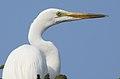 Great Egret Ardea alba Non-br by Dr. Rju Kasambe DSCN5026 (4).jpg