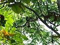 Great Hornbill - Buceros bicornis - P1030669.jpg