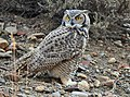 Great Horned Owl on Seedskadee National Wildlife Refuge (22312850906).jpg