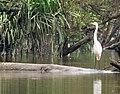 Great White Egret. Ardea alba (48743758641).jpg
