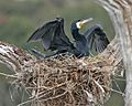 Great cormorant adult on nest - Flickr - Lip Kee.jpg