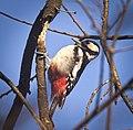 Great spotted woodpecker (51131756354).jpg