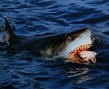 Uno squalo bianco attacca un'esca
