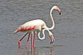 Greater Flamingo, Phoenicopterus roseus at Marievale Nature Reserve, Gauteng, South Afr (23319745141).jpg