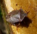 Green Sheildbug. Pelomena prasina. (Winter colours). - Flickr - gailhampshire.jpg