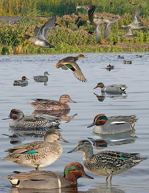 Green Winged Teal From The Crossley ID Guide Eastern Birds.jpg
