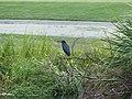 Green heron kiawah (35991059830).jpg
