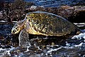 Green sea turtle. (14167623264).jpg