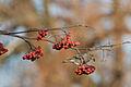 Greenfinch Lodz(Poland)(js)08.jpg