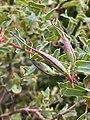 Grevillea maccutcheonii growing in Bowral NSW.jpg