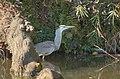 Grey Heron - アオサギ - panoramio (1).jpg