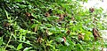 Grey Squirrel damage on shoot of Horse Chestnut, Lainshaw Woods, and leaves Stewarton.jpg