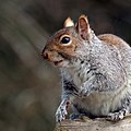 Grey squirrel (Sciurus carolinensis) 03.jpg