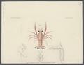 Grimothea duperreii - - Print - Iconographia Zoologica - Special Collections University of Amsterdam - UBAINV0274 096 14 0011.tif