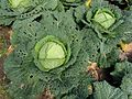 Groene savooiekool Brassica oleracea convar. capitata var. sabauda.jpg