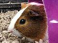 Guinea Pig closeup.jpg