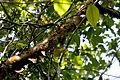 Gumbo Limbo NPSPhoto, R. Cammauf (4) (9103253290).jpg