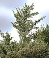 Gymnosporia heterophylla - African Spikethorn tree in flower 5.jpg