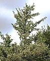 Gymnosporia heterophylla - African Spikethorn tree in flower 5.jpg