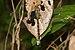 Gynacantha-Kadavoor-2016-06-26-001.jpg