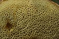 Hösel 23.07.2017 Matte Bolete - Xerocomellus pruinatus (36189962924).jpg